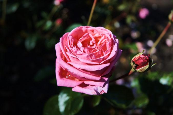 Die Rosen im Rosengarten sind immer ein toller Anblick!