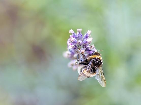Bienen gehören zu den nützlichsten Tieren der Welt. Nicht nur ihr Honig ist gesund, auch die Luft aus dem Bienenstock ist gut für uns! | Bild: pixabay/christels