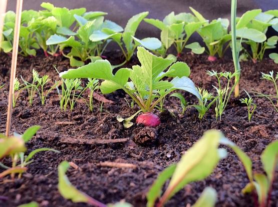 Gemüse wie Radieschen lassen sich nicht nur prima im Garten, sondern auch im Hochbeet ziehen. | Bild: Franziska Topf